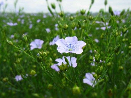 亜麻の花.jpg