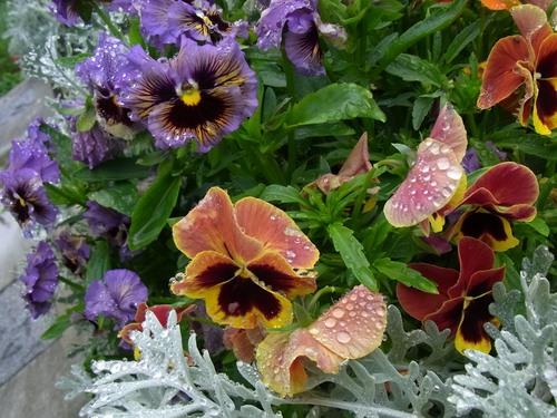 雨に濡れる花.jpg