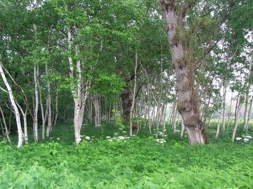 雨の日白樺林.jpg