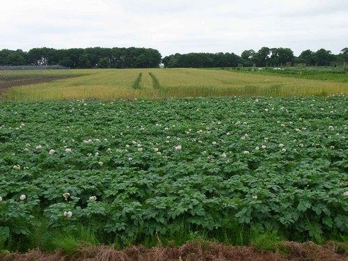 馬鈴薯畑.jpg